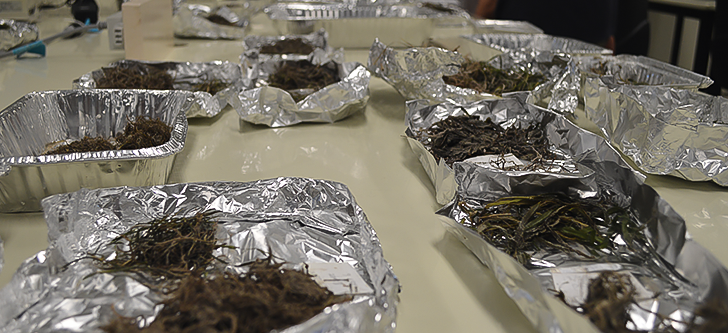 Seagrass samples in the lab